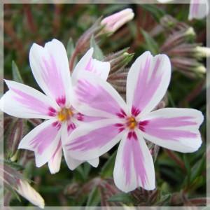 "Phlox subulata ""Kimono Pink White"""