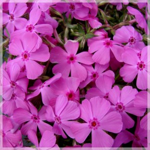 "Phlox subulata (""Mcdaniel""s Cushion"")"