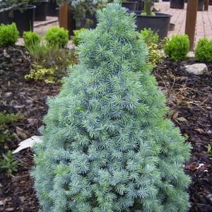 """Molid albastru (""""Picea Armen Blue"""")"""