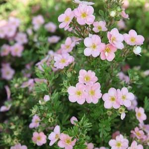 Potentilla cu flori roz (Potentilla fruticosa 'Lovely Pink')