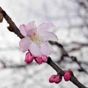 Cireș japonez de toamnă (Prunus × subhirtella 'Autumnalis Rosea')