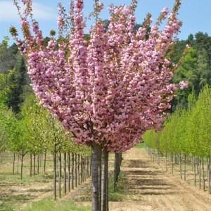 Cireș japonez (Prunus serrulata Kanzan)