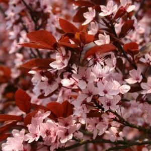 """Cireș japonez roșu (Prunus cerasifera """"Nigra"""")"""