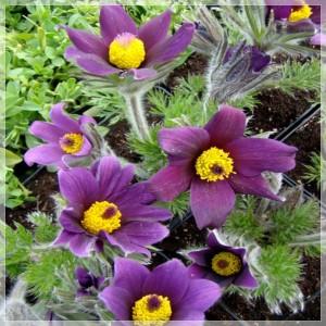 """Pulsatilla vulgaris """"Pinwheel Blue Violet Shades"""""""