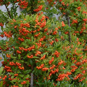 "Piracanta cu fructele portocalii (Pyracantha hybride ""Orange Charmer"")"
