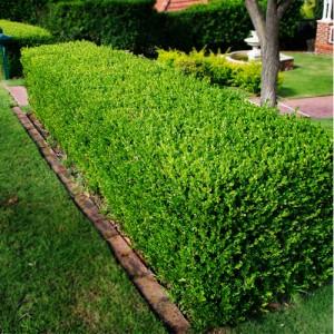 """Cimișor verde (""""Buxus sempervirens"""")"""