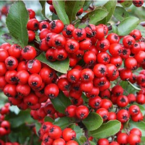 """Piracanta cu fructele roșii (Pyracantha coccinea """"Red Column"""")"""