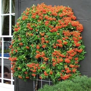"Piracanta cu fructe portocalii (Pyracantha coccinea ""Teton"")"