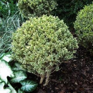 "Cimișir variegat (Buxus sempervirens ""Elegans"")"