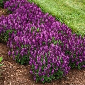 Salvie ornamentală cu florile mov (Salvia nemorosa 'BumbleBerry')