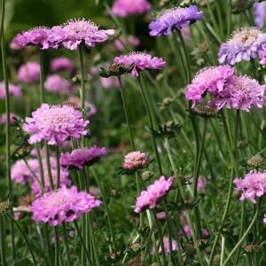 Scabiosa cu florile roz (Scabiosa incisa 'Kudo Pink')