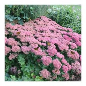 "Sedum înalt cu florile roz (Sedum ""Herbstfreude"")"