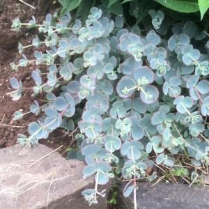 Sedum albastru - Sedum Sieboldii