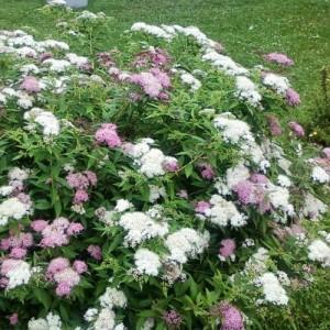 """Cununița cu flori roz/alb - (Spiraea japonica """"Shirobana"""")"""