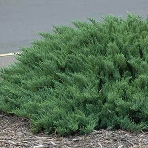"Ienupăr târâtor verde albăstrui - Juniperus sabina ""Tamariscifolia"""