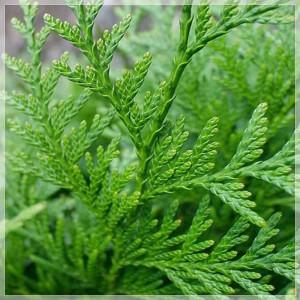 "Tuia verde (Thuja plicata ""Dura"")"