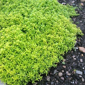 """Thymus citriodorus (""""Aureus"""")"""