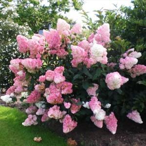 "Hortensia cu flori albe spre roz (Hydrangea paniculata ""Vanille Fraise"")"