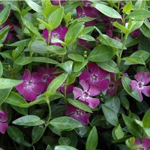 Saschiu cu flori purpurii (Vinca minor 'Atropurpurea')