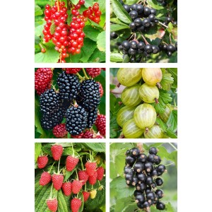 Ofertă 6 arbuști fructiferi