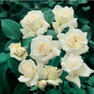 "Trandafir teahibrid alb - ""Pascali"""