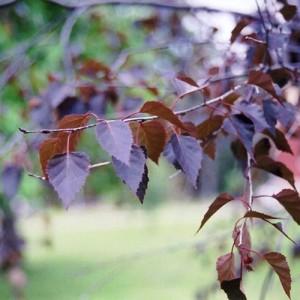 Mesteacăn roșu (Betula 'Crimson Frost')