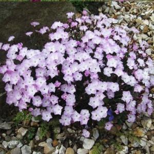 "Garofite cu flori roz deschis (Dianthus ""Whatfield Wisp"")"