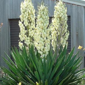 Yuca de gradină - Yucca filamentosa