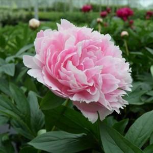 """Bujor de grădină (Paeonia lactiflora """"Sarah Bernhardt"""")"""