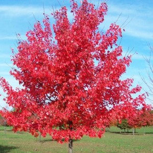 Arțar - Acer rubrum 'October Glory'