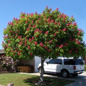 "Castan ornamental roșu (Aesculus × carnea ""Briotii"")"
