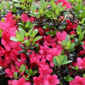 """Azalee pitică cu flori rosii (Rhododendron """"Little Red"""")"""