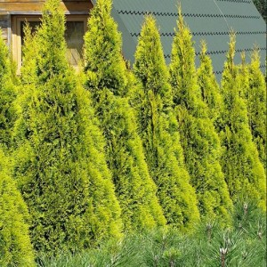 Tuia aurie (Thuja occidentalis 'Golden Smaragd')