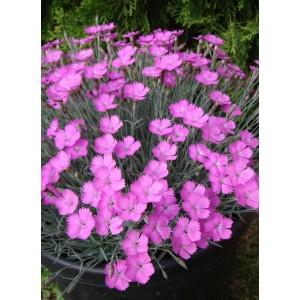 """Garofite cu flori roz spre mov (Dianthus gratianopolitanus """"Amarant"""")"""