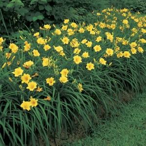 """Crin de vară pitic (Hemerocallis """"Stella de Oro"""")"""