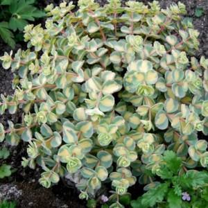 Iarbă grasă variegată (Sedum sieboldii 'Mediovariegatum')