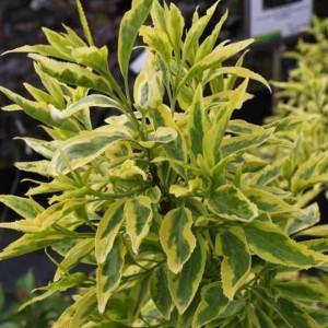 "Ploaia de aur variegat  (Forsythia x intermedia ""Golden Flames"")"