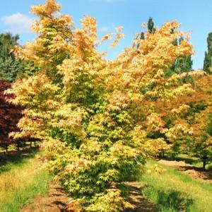 Arțar japonez galben - Acer palmatum 'Katsura'