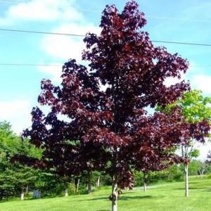 Arțar cu frunza bordo (Acer platanoides 'Crimson King')