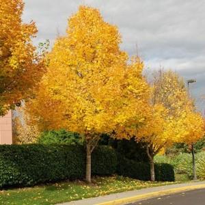 Arțar ornamental (Acer platanoides 'Emerald Queen')