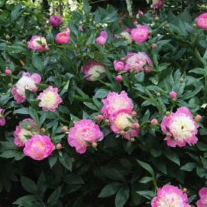 Bujor roz cu centrul alb (Paeonia lactiflora 'Bowl of Beauty')