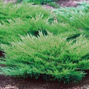 """Ienupăr verde (Juniperus horizontalis """"Andorra Compacta"""")"""