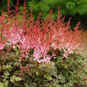 Astilbe cu flori roz (Astilbe 'Delft Lace')
