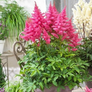 Astilbe de umbră cu florile roz (astilbe hybride 'Drum and Bass')