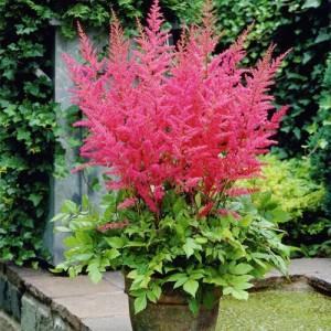 Astilbe de umbră cu florile roz închis (Astilbe x arendsii 'Granat')