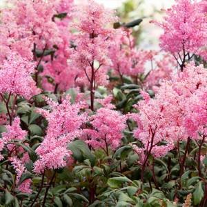 Astilbe de umbră cu florile roz (Astilbe 'Lollipop')