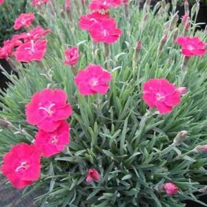"""Garofițe cu flori roz (Dianthus gratianopolitanus """"Badenia"""")"""