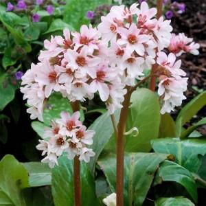 Bergenia de umbră cu flori albe (Bergenia 'Bressingham White')