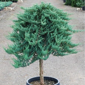 "Ienupăr albastru altoit pe trunchi (Juniperus horizontalis ""Blue Chip"")"