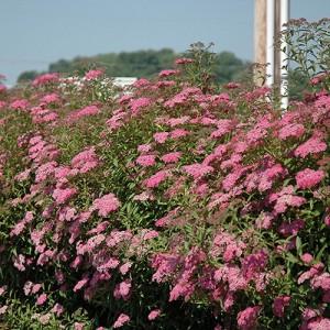 Cununița cu flori roz (Spiraea x bumalda)